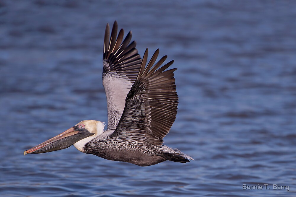 Brown Pelican at Cypremort Point by Bonnie T.  Barry