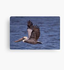 Brown Pelican at Cypremort Point Canvas Print