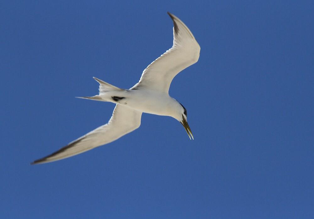 Tern Time by byronbackyard