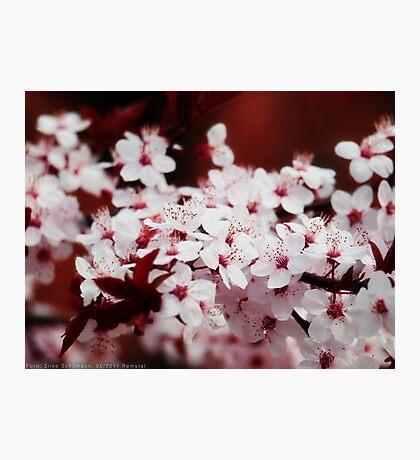 Cherry blossoms VRS2 Photographic Print