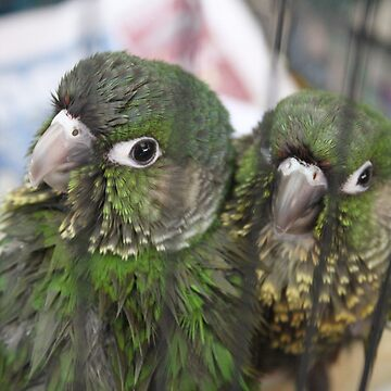 Conure Babies 1 by xTRIGx
