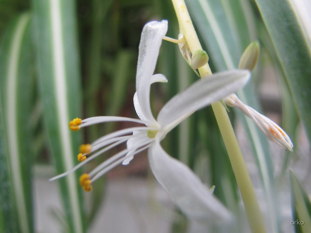 Spider Plant by orko