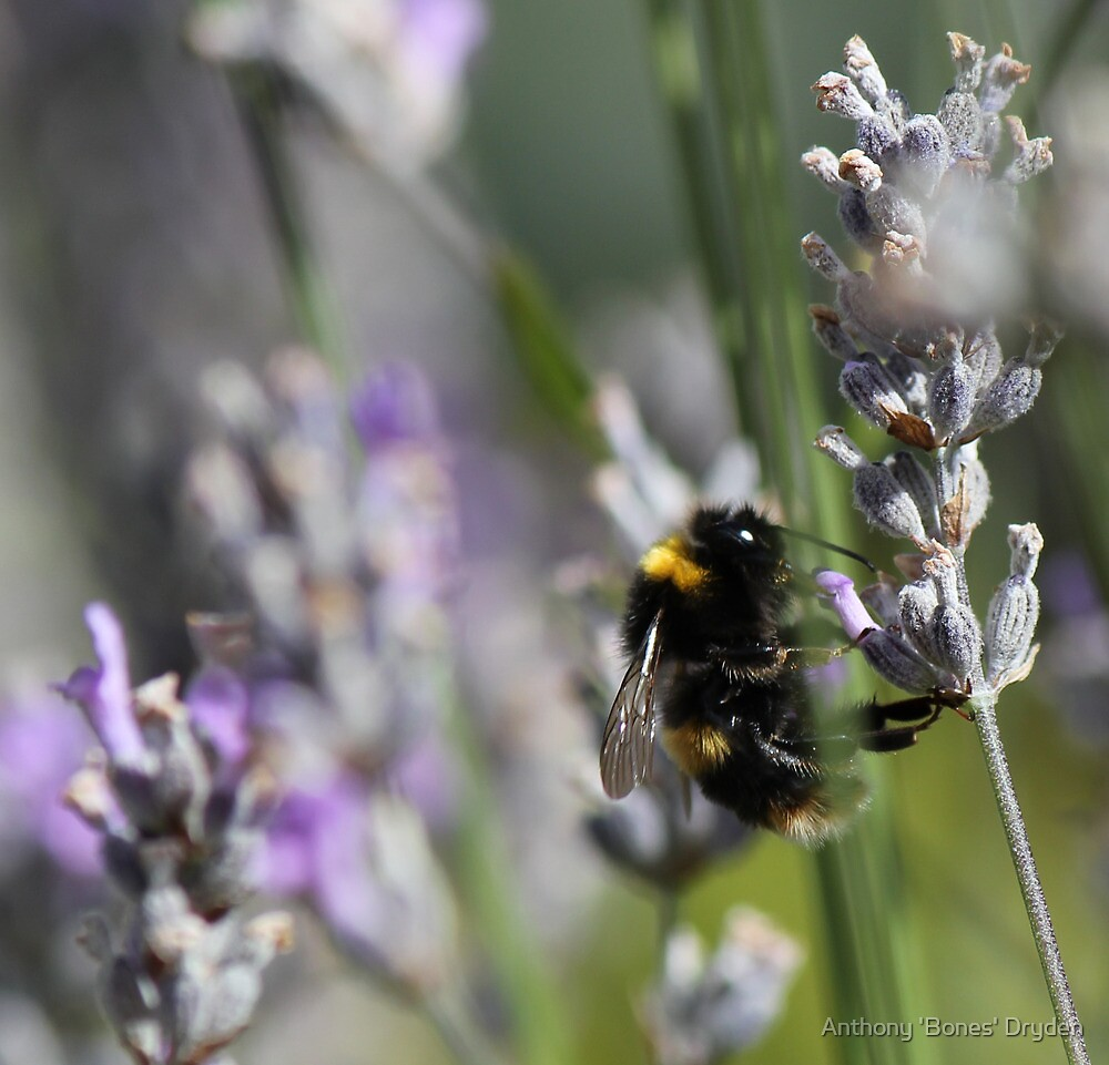 Busy bumble bee by Anthony 'Bones' Dryden