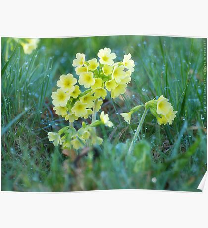 Cowslips in the Morning Dew VRS2 Poster