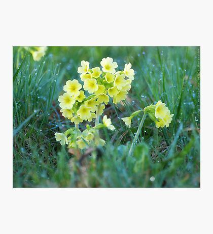 Cowslips in the Morning Dew VRS2 Photographic Print