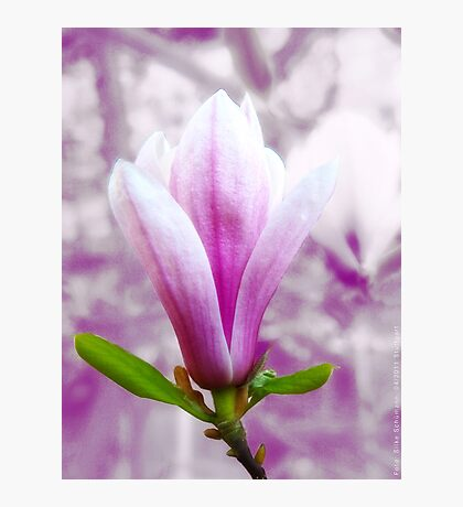 Magnolia blooming in Spring (light) VRS2 Photographic Print