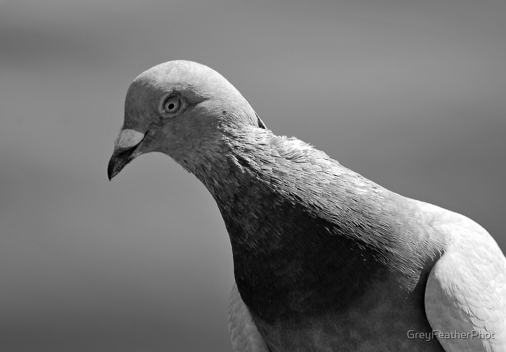 Pigeon  by GreyFeatherPhot