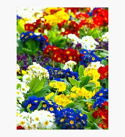 Colorful Primroses VRS2 Photographic Print