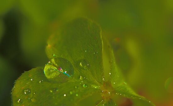 Raindrops on Oxalis Leaf by aprilann
