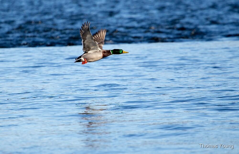 Drake Mallard Taking Flight by Thomas Young