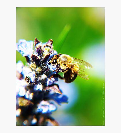 Bee on Common Bugle VRS2 Photographic Print