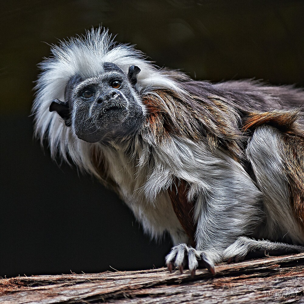 Cotton-Top Tamarin by Ian English