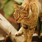Wait, watch, pounce! by amrita125