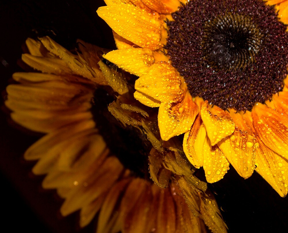 Sunflower 5 by John Velocci