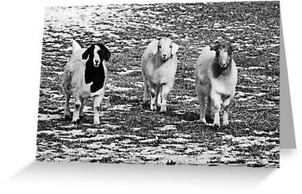 Three Goats B&W by mcstory