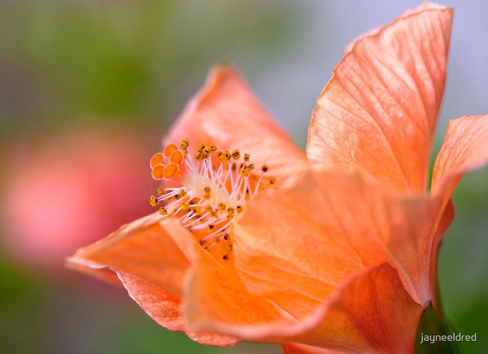 Soft Orange Hibiscus by jayneeldred