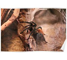 RED KNEE SPIDER  Poster