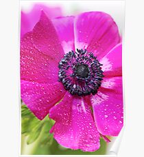 Pink Anemone... Poster