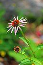 Echinacia purpurea by John Velocci
