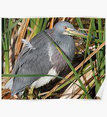 Tri color Heron Poster