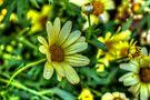 Daisy 6 by John Velocci