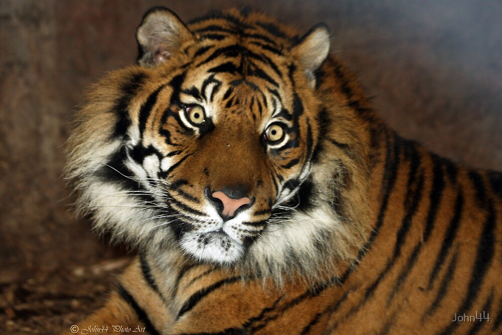 ..a Tiger in textures.. by John44