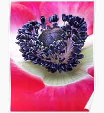 Red Anemone.... Poster