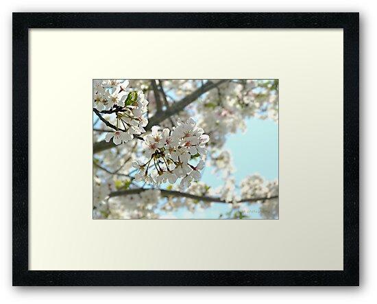 Springtime Dogwoods by Scott Mitchell