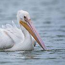 American White Pelican by (Tallow) Dave  Van de Laar