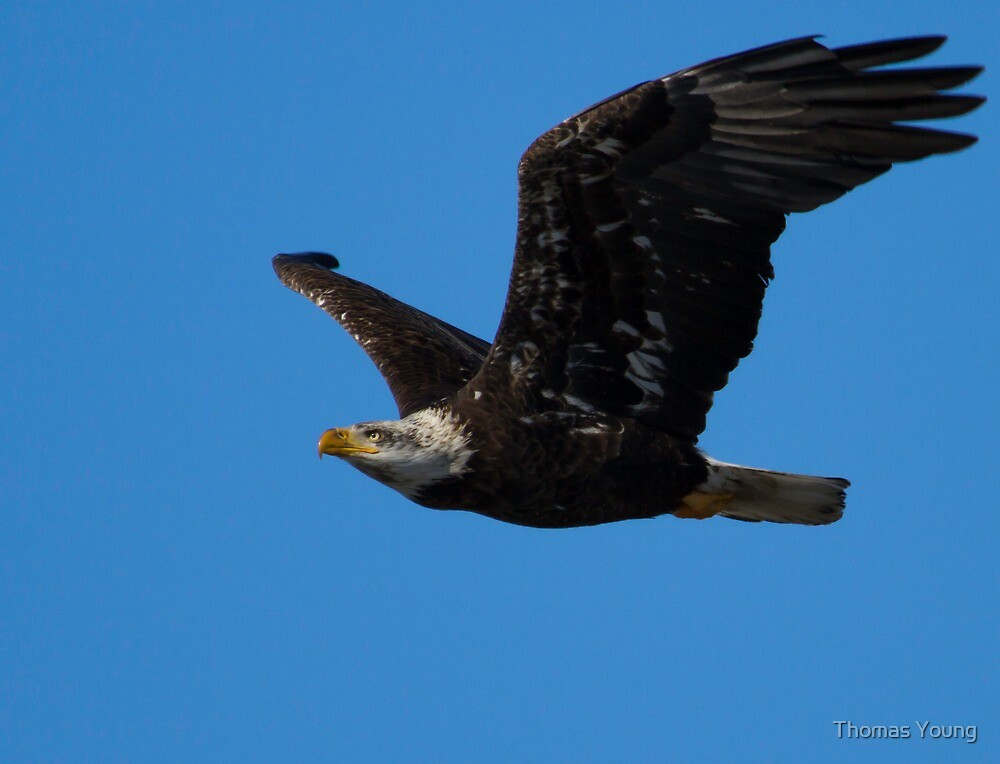 American Bald Eagle In Flight by Thomas Young