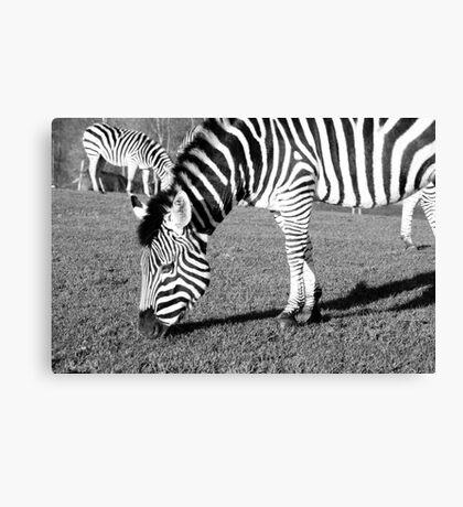 Grazing Zebra Canvas Print