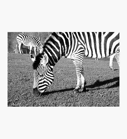Grazing Zebra Photographic Print