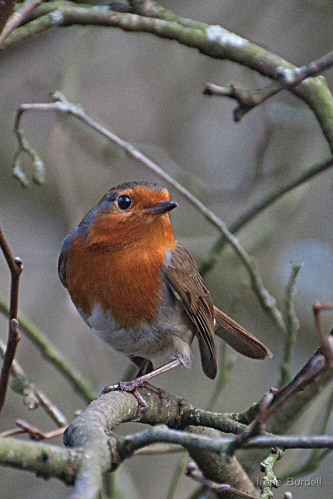 The Robin . by Irene  Burdell