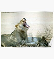 Two lions a glorious rest and a big yawn Etosha N/P Namibia Poster