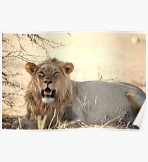 A powerful young male lion at Kgalagadi N/P South Africa  Poster