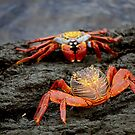 Red Rock Crabs by vgbg