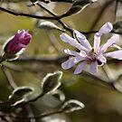 Magnolia x loebneri 'Leonard Messel'  by Lucy Hollis