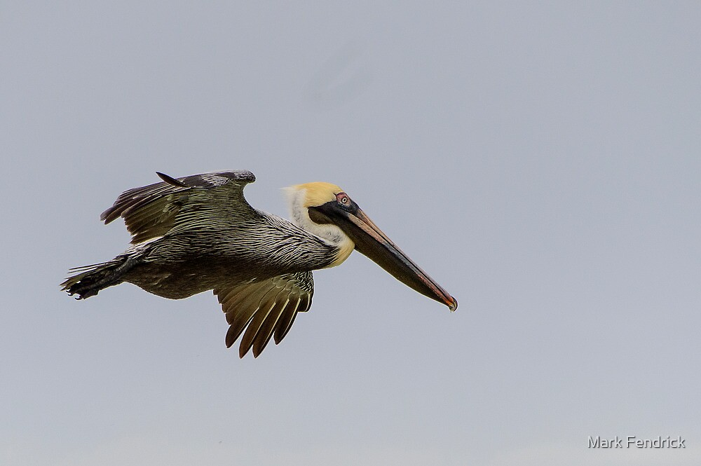 Pelican in Flight by Mark Fendrick