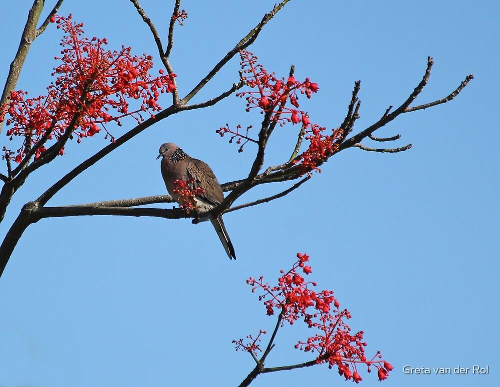 Dove on a flame tree by Greta van der Rol