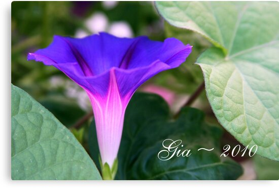 """""""The Glory of the Morning Glory"""" by Gail Jones"""