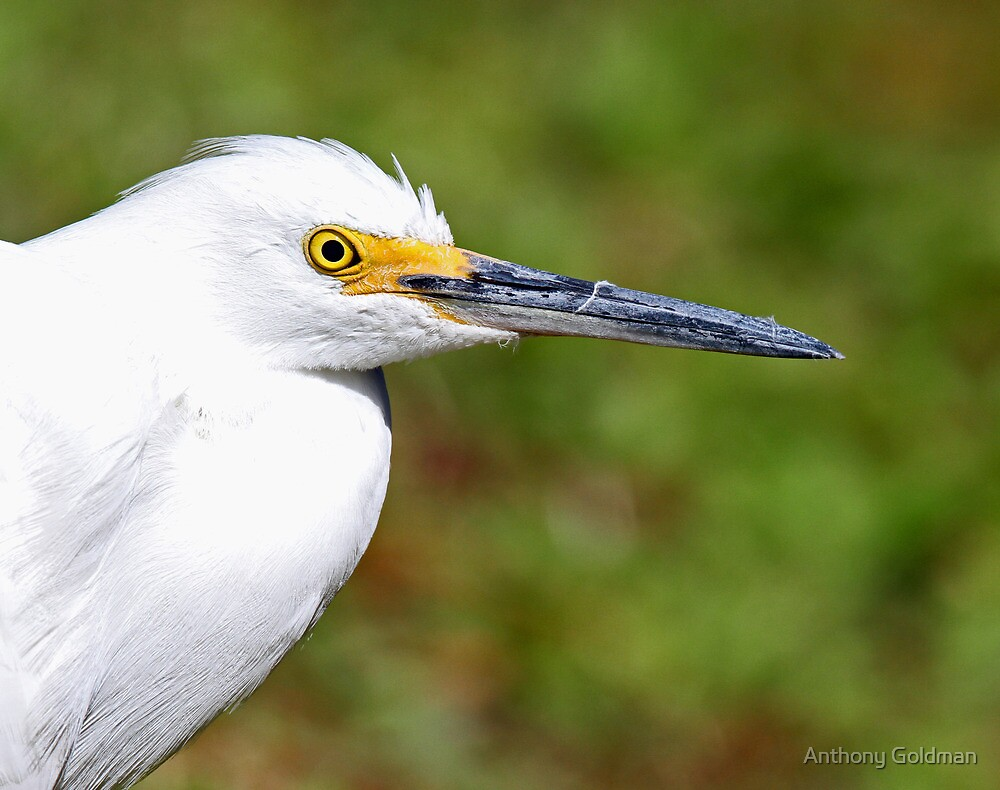 Snowy egret profile by Anthony Goldman