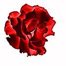 Rose by Karen Fitzsimons