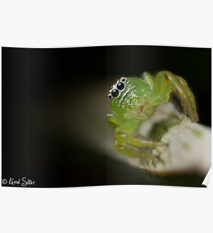 (Mopsus mormon female) Jumping Spider Poster
