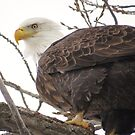American Bald Eagle by lorilee