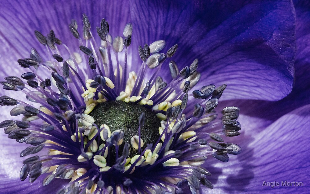 Blue Anemone by Angie Morton