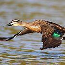 """Flying Duck"" by jonxiv"