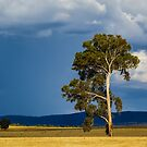Gumtree in a field by Manfred Belau