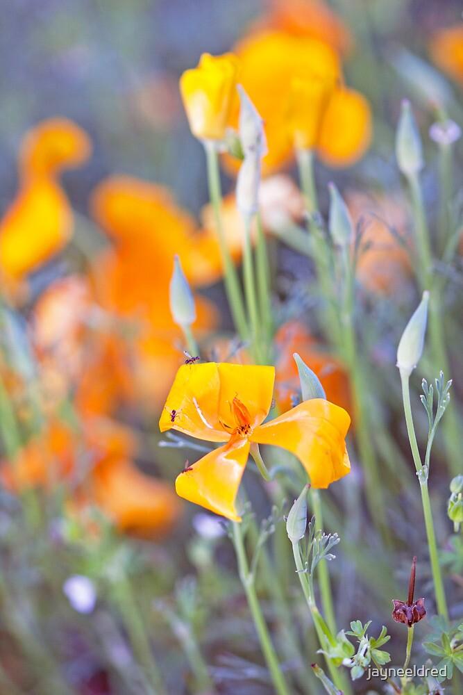 Poppies Galore by jayneeldred