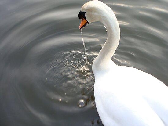 Swan Drinking by Paul Hutcheon