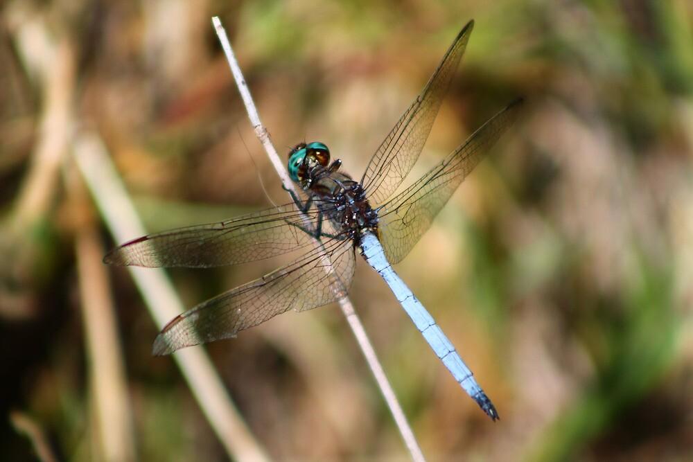 Electric blue Dragon Fly by Edward Ansett-Cunningham